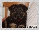 Hedeforsens Yxa (Ambra) 8 veckor